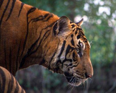 Carta da parati Tiger, ritratto di una tigre del Bengala