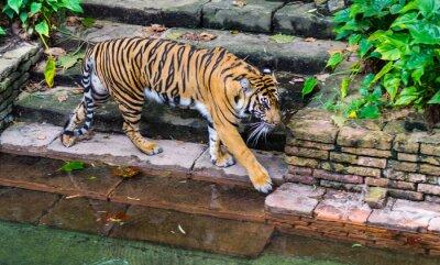 Carta da parati Tiger vicino pozza d'acqua