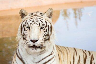 Carta da parati Tigre bianca allo zoo