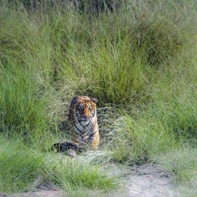 Carta da parati Tigre del Bengala in Bardia National Park, Nepal