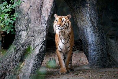 Carta da parati Tigre del Bengala in foresta