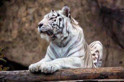 Carta da parati Tigre del Bengala - una rara sottospecie, è inclusa nella Lista Rossa IUCN