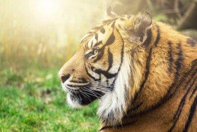 Carta da parati Tigre di profilo con pagine sole sul viso
