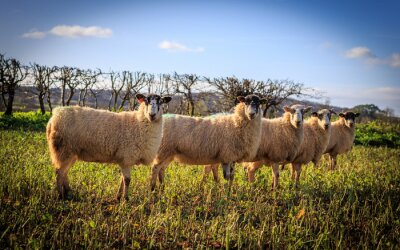 Carta da parati Tradycyjne angielskie Owce