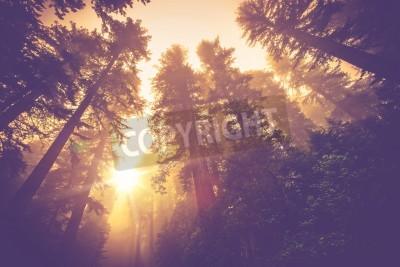 Carta da parati Trail foresta nebbiosa. Magico scenario Redwood Forest a Warm Vintage Color Grading.