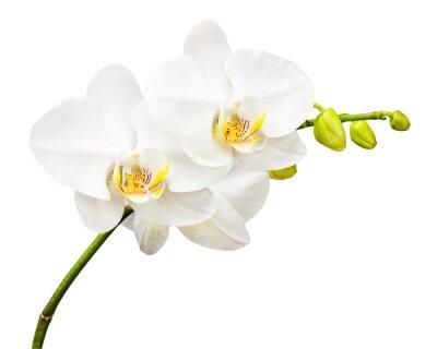 Carta da parati Tre giorni di età orchidea isolato su sfondo bianco.