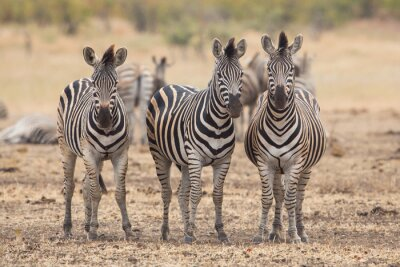 Carta da parati Tre zebre, Kruger Park, Sud Africa