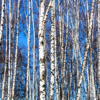 Carta da parati tronchi di betulla bianca e blu cielo