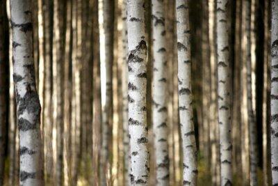 Carta da parati tronchi di betulle