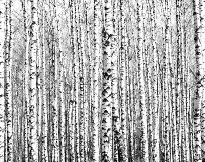 Carta da parati Tronchi di primavera di betulle in bianco e nero