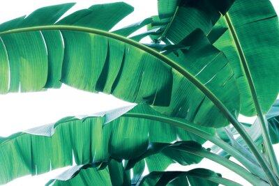 Carta da parati Tropical green leaves pattern on white background, lush foliage of banana palm leaves the tropic plant.