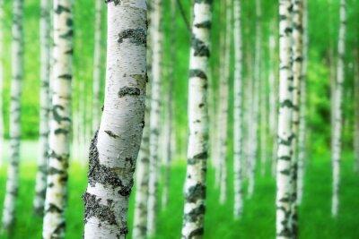 Carta da parati trunk of birch tree