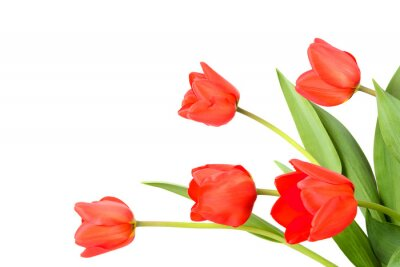 Carta da parati Tulipani su uno sfondo bianco