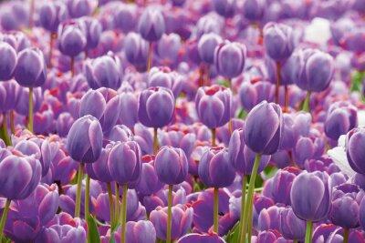 Carta da parati Tulipano