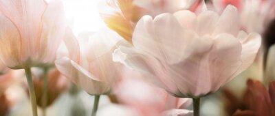 Carta da parati tulpen licht sonnenstrahlen