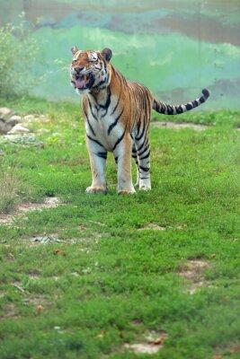 Carta da parati Tygrys bengalski