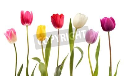 Carta da parati Un insieme di sette fiori differenti del tulipano di colore isolati su fondo bianco