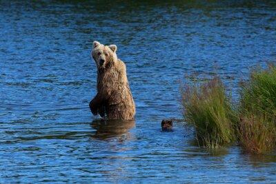 Carta da parati Un orso bruno madre guarda indietro a controllare i suoi cuccioli durante l'attraversamento Brooks River, Parco Nazionale di Katmai, in Alaska