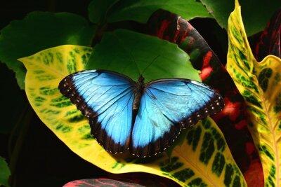 Carta da parati Una bella Morfo terre nei giardini Farfalla.