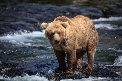 Carta da parati Una ricerche marrone dell'Alaska per il salmone nelle riffles di Brooks River.
