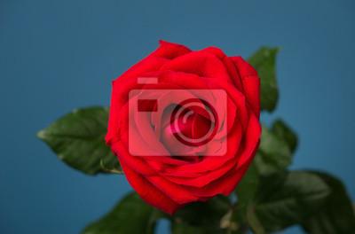 Una Rosa Rossa Su Sfondo Blu Carta Da Parati Carte Da Parati