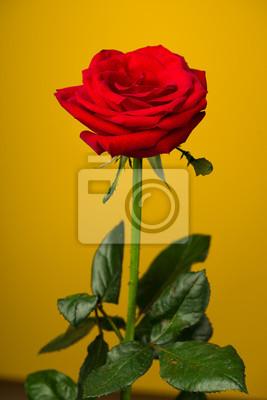 Una Rosa Rossa Su Sfondo Giallo Carta Da Parati Carte Da Parati