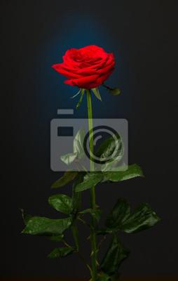 Una Rosa Rossa Su Sfondo Nero Carta Da Parati Carte Da Parati