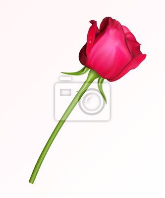 Una Sola Rosa Rossa Su Sfondo Bianco Carta Da Parati Carte Da