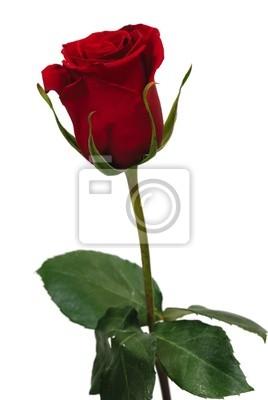 Unico Rosa Rossa Su Sfondo Bianco Carta Da Parati Carte Da Parati