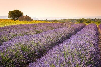 Carta da parati Valensole, Provenza, Francia. Campo di lavanda pieno di fiori viola