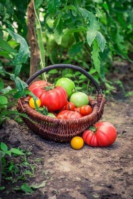 Carta da parati Vari pomodori su terra