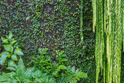 Carta da parati Vecchio rubinetto d'innaffiatura verde sulla parete invasa con l'edera e il rampicante verdi, fondo di verde del giardino. Piante verdi bagnate