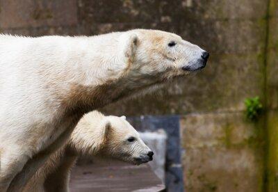 Carta da parati vedere gli orsi polari