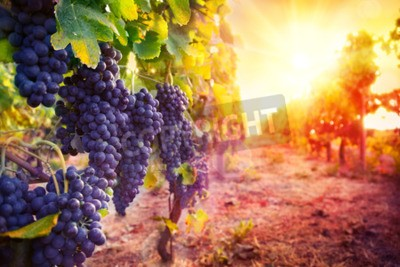 Carta da parati vigneto con uva matura nella campagna al tramonto