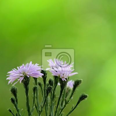 Viola Margherita Fiori Con Sfocatura Sfondo Verde Giardino Carta Da