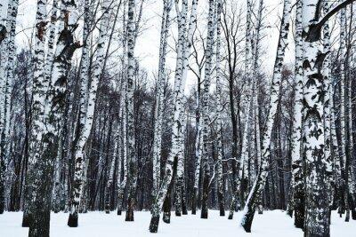 Carta da parati vista del bosco di betulle innevate d'inverno