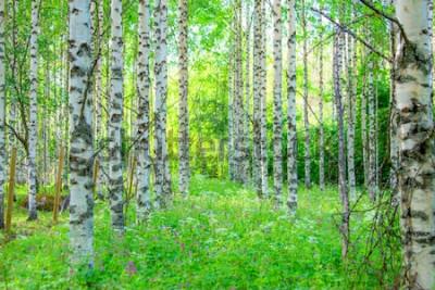Carta da parati Vista della foresta della betulla di estate da Sotkamo, Finlandia.