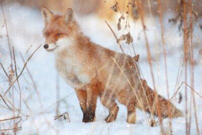 Carta da parati volpe rossa nella foresta di inverno Abbastanza