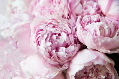 Carta da parati White and pink peonies. Background, wallpaper..