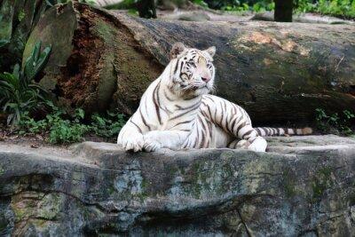 Carta da parati White Tiger 4