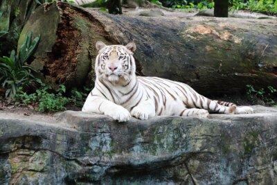 Carta da parati White Tiger 5