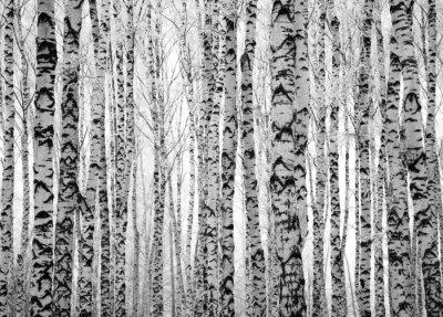 Carta da parati Winter trunks birch trees