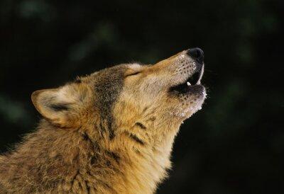 Carta da parati Wolf howling Ritratto