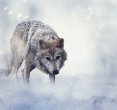Carta da parati Wolf in Winter Time