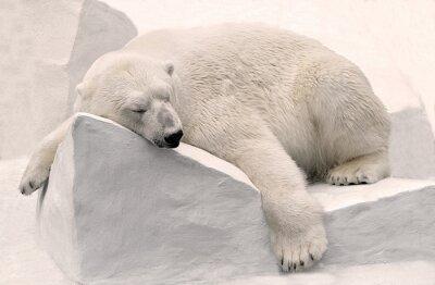 Carta da parati Белый медведь спит.