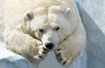 Carta da parati Медведь Белый.