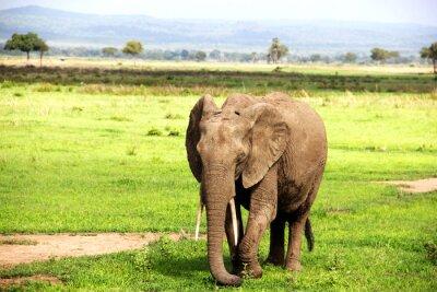Carta da parati Африканский слон