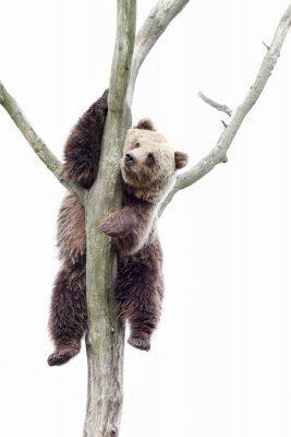 Carta da parati Young brown bear in a tree
