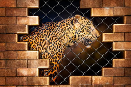 Carta da parati Young leopard internal the cage in concept of resist torture and torture the wildlife