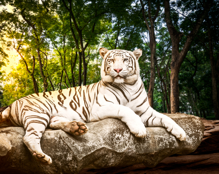 Carta da parati Young white bengal tiger in the act of relax on stone at natural forest